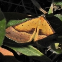 Anachloris subochraria (Golden Grass Carpet) at Coombs, ACT - 15 Sep 2021 by JohnBundock