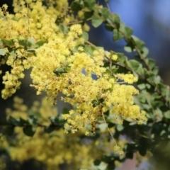 Acacia pravissima (Wedge-leaved Wattle) at Yackandandah, VIC - 14 Sep 2021 by Kyliegw