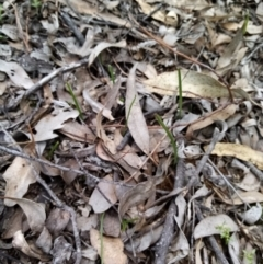Unidentified Plant (TBC) at Carwoola, NSW - 15 Sep 2021 by Liam.m