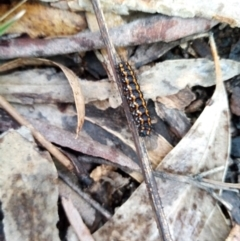 Nyctemera amicus (Senecio or Magpie moth) at Carwoola, NSW - 25 Aug 2021 by Liam.m