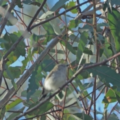 Gerygone fusca (Western Gerygone) at Holt, ACT - 15 Sep 2021 by wombey