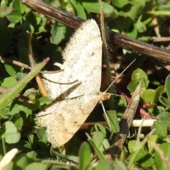 Scopula rubraria (Plantain Moth) at Tuggeranong DC, ACT - 15 Sep 2021 by HelenCross