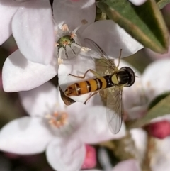 Sphaerophoria macrogaster (Hover Fly) at Murrumbateman, NSW - 15 Sep 2021 by SimoneC