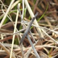 Keyacris scurra (Key's Matchstick Grasshopper) at Kambah, ACT - 15 Sep 2021 by HelenCross