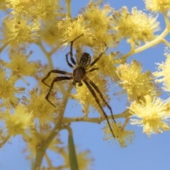 Araneinae (subfamily) (Orb weaver) at Scullin, ACT - 14 Sep 2021 by AlisonMilton