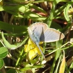 Zizina otis (Common Grass-Blue) at Kambah, ACT - 15 Sep 2021 by HelenCross