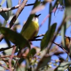 Gerygone olivacea (White-throated Gerygone) at Majura, ACT - 14 Sep 2021 by RodDeb