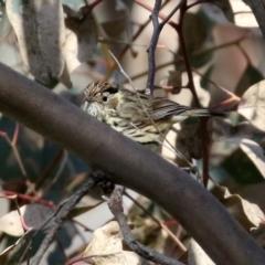 Pyrrholaemus sagittatus (Speckled Warbler) at Majura, ACT - 14 Sep 2021 by RodDeb