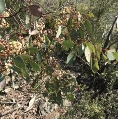 Eucalyptus polyanthemos subsp. polyanthemos (Red Box) at Calwell, ACT - 3 Sep 2021 by ROWLAD