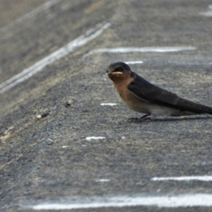 Hirundo neoxena (Welcome Swallow) at Cranbrook, QLD by TerryS