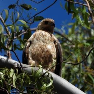 Haliastur sphenurus (Whistling Kite) at Cranbrook, QLD by TerryS