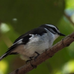Poecilodryas superciliosa (White-browed Robin) at Cranbrook, QLD by TerryS