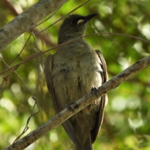 Stomiopera unicolor (White-gaped Honeyeater) at Cranbrook, QLD by TerryS