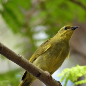 Stomiopera flava (Yellow Honeyeater) at Cranbrook, QLD by TerryS