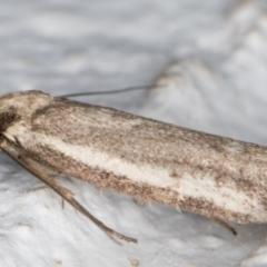 Philobota (genus) (Unidentified Philobota genus moths) at Melba, ACT - 11 Sep 2021 by kasiaaus