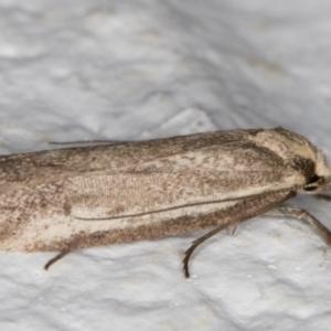 Philobota (genus) at Melba, ACT - 11 Sep 2021