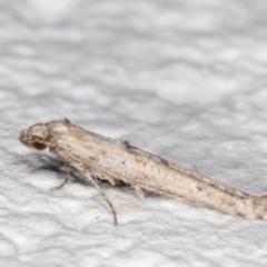 Epermenia (genus) (An Epermeniid moth (Epermeniidae family)) at Melba, ACT - 11 Sep 2021 by kasiaaus