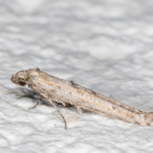 Epermenia (genus) at Melba, ACT - 11 Sep 2021
