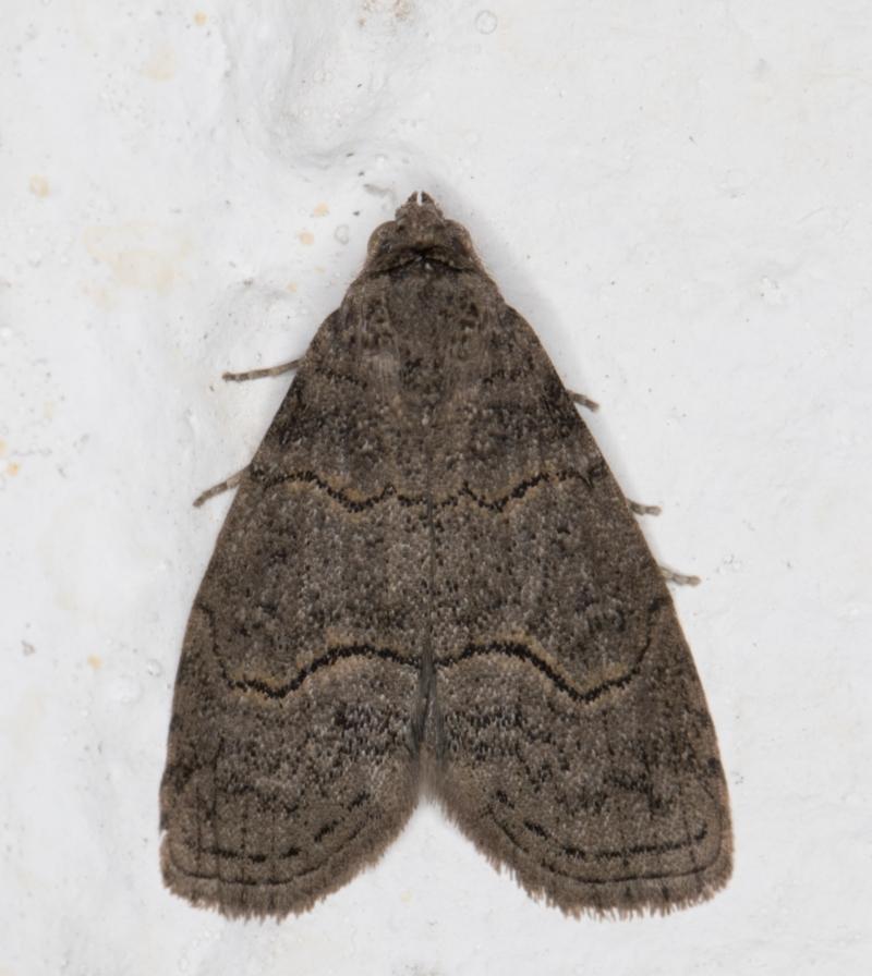 Calathusa sp nr dispila at Melba, ACT - 12 Sep 2021