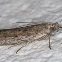 Phycitinae sp. (subfamily) at Melba, ACT - 12 Sep 2021