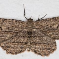 Ectropis excursaria (Common Bark Moth) at Melba, ACT - 12 Sep 2021 by kasiaaus