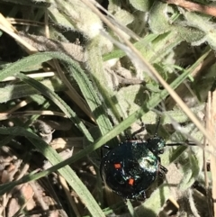 Pentatomoidea (superfamily) (TBC) at Tuggeranong DC, ACT - 11 Sep 2021 by Tapirlord