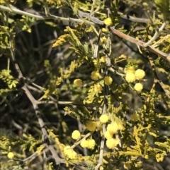 Acacia cardiophylla (Wyalong Wattle) at Kambah, ACT - 11 Sep 2021 by Tapirlord