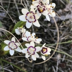 Wurmbea dioica subsp. dioica (Early Nancy) at Kambah, ACT - 11 Sep 2021 by Tapirlord