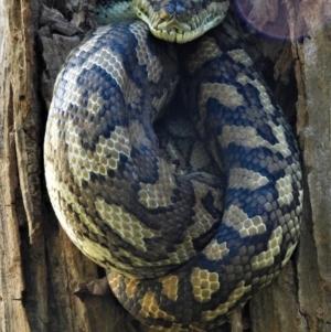 Morelia spilota mcdowelli (Eastern, Coastal or McDowell's Carpet python) at Cranbrook, QLD by TerryS