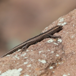 Cryptoblepharus pannosus (TBC) at suppressed by Tammy