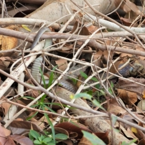 Tropidonophis mairii (TBC) at suppressed by TerryS