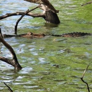 Crocodylus johnstoni (TBC) at suppressed by TerryS