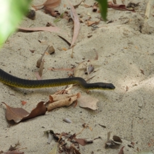 Dendrelaphis punctulatus (TBC) at suppressed by TerryS