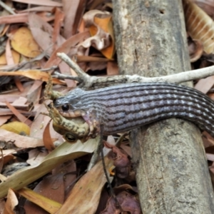 Tropidonophis mairii (Keelback, Freshwater Snake) at Cranbrook, QLD by TerryS