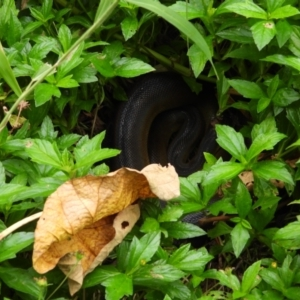 Unidentified Snake (TBC) at suppressed by TerryS