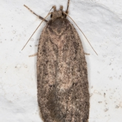 Unidentified Concealer moth (Oecophoridae) (TBC) at Melba, ACT - 11 Sep 2021 by kasiaaus