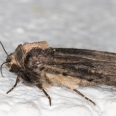 Proteuxoa provisional species 3 at Melba, ACT - 12 Sep 2021