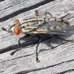 Sarcophagidae sp. (family) (Unidentified flesh fly) at Fraser, ACT - 16 Sep 2021 by tpreston