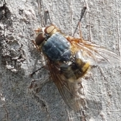 Calliphora stygia (Brown blowfly or Brown bomber) at Fraser, ACT - 16 Sep 2021 by tpreston