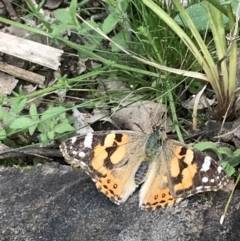 Vanessa kershawi (Australian Painted Lady) at Downer, ACT - 12 Sep 2021 by Tapirlord