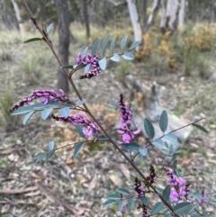 Indigofera australis subsp. australis (Australian Indigo) at Carwoola, NSW - 16 Sep 2021 by cherylhodges
