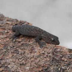 Christinus marmoratus (Southern Marbled Gecko) at Kambah, ACT - 15 Sep 2021 by MatthewFrawley