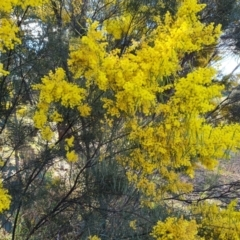 Acacia boormanii (Snowy River Wattle) at O'Malley, ACT - 16 Sep 2021 by Mike