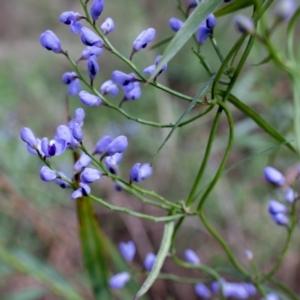 Comesperma volubile at Berrima, NSW - 16 Sep 2021