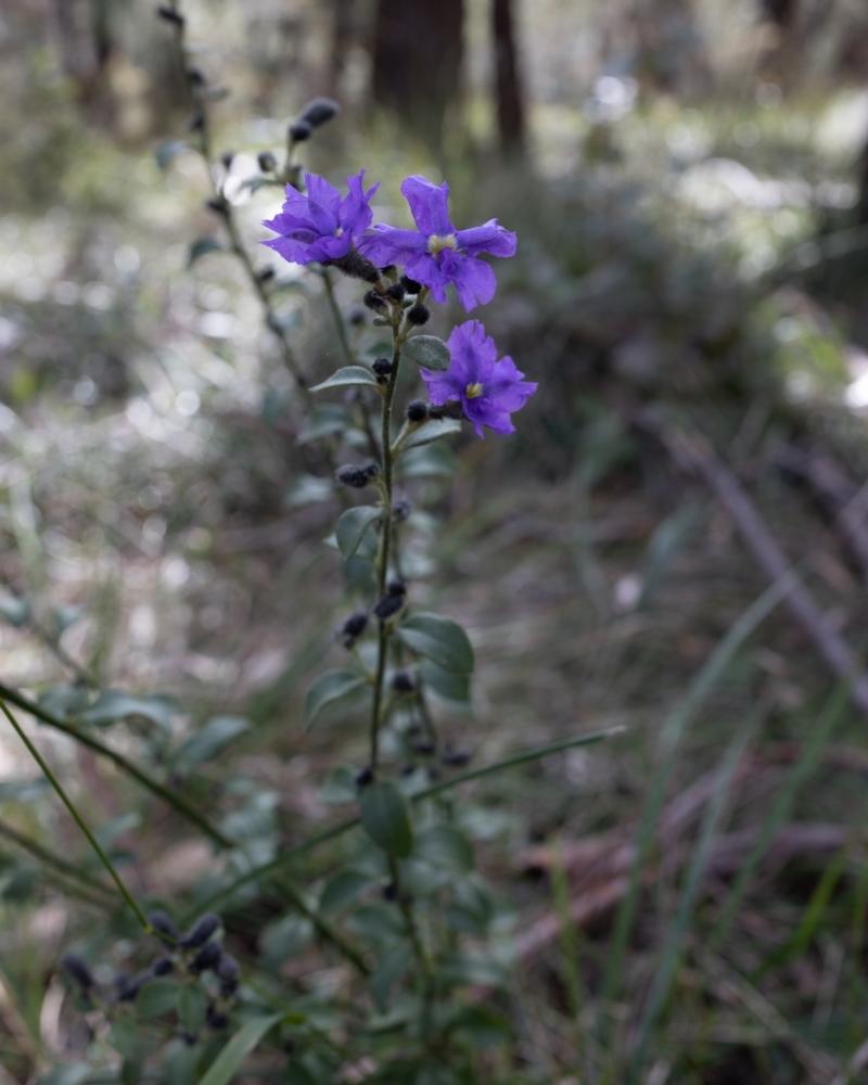 Dampiera purpurea at Berrima, NSW - 16 Sep 2021
