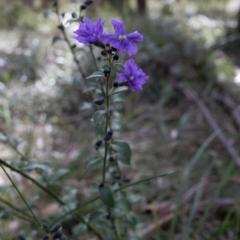 Dampiera purpurea (Purple Dampiera) at Berrima, NSW - 16 Sep 2021 by Boobook38