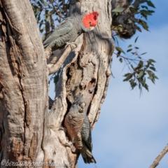 Callocephalon fimbriatum (Gang-gang Cockatoo) at Hughes, ACT - 11 Sep 2021 by BIrdsinCanberra