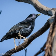 Ptilonorhynchus violaceus (Satin Bowerbird) at Deakin, ACT - 11 Sep 2021 by BIrdsinCanberra