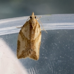 Epiphyas sp. (genus) (A Tortrid moth) at Higgins, ACT - 15 Sep 2021 by AlisonMilton
