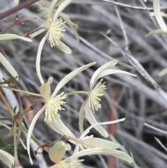 Clematis leptophylla (Small-leaf Clematis, Old Man's Beard) at Majura, ACT - 16 Sep 2021 by Sarah2019